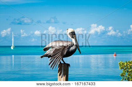 Pelican bird resting on the wooden pillar in front of the sea waters , Belize.