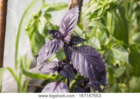 Fruit and vegetables: close up of violet basil plant