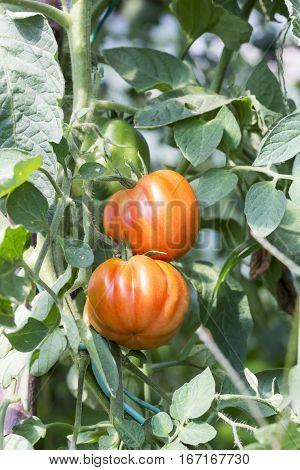 Beefsteak Tomatoes Plant  In The Vegetable Garden