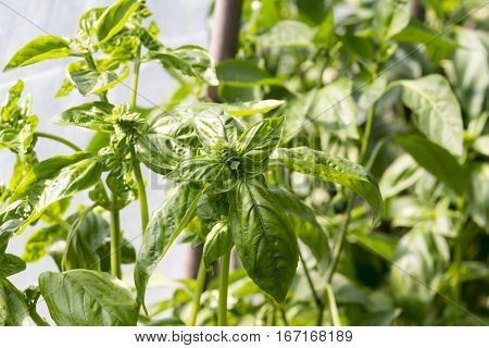 Fruit and vegetables: close up of basil plant