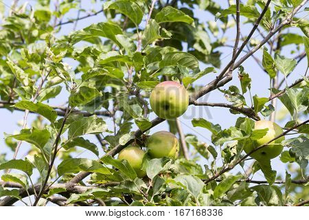 Fruit and vegetables: Tree with quality Braeburn apples