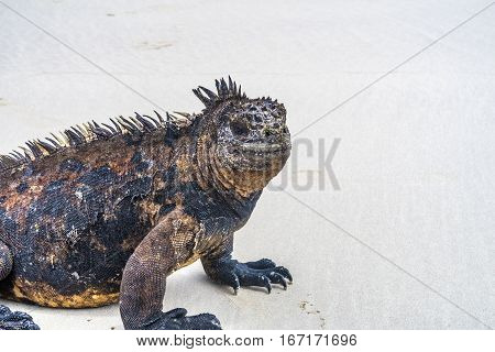 Marine Iguana At The Beach