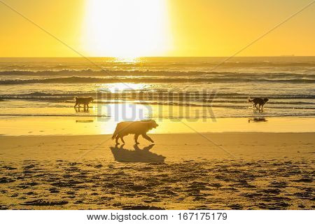 Three dogs running on the shore at sunset with golden background and copy space on scenic Noordhoek Beach, Cape Town, South Africa. Leisure, summer, holidays and freedom concept.
