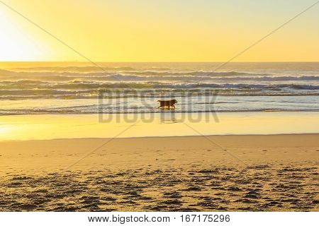 Lonely dog running on the shoreline of a long beach on twilight. Golden retriever cheerful on a scenic beach at sunset. Leisure, summer, holidays and freedom concept. Copy space.