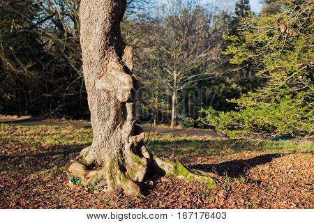 Ostrya carpinfolia - Europian Hophornbeam; park in winer