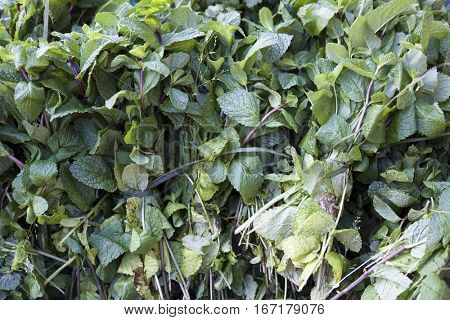Fresh bright, fragrant bunches of mint . Mint leaves, peppermint closeup