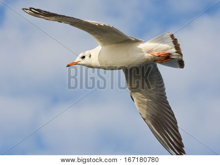 Seagull flying with open wings over blue sky.
