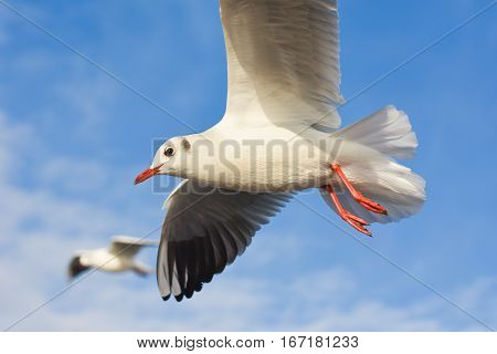 Seagulls flying with open wings over blue sky.