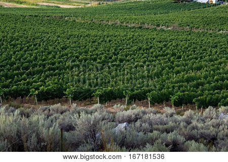 Edge of a vineyard with rows of grape vines