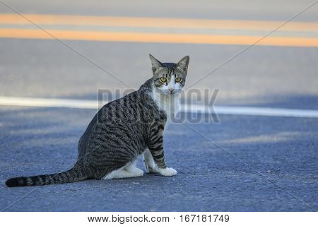 thai cat sitting on traffic road and looking to camera with eyes contact