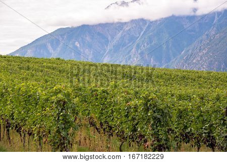Rows of grape vines with mountains in background