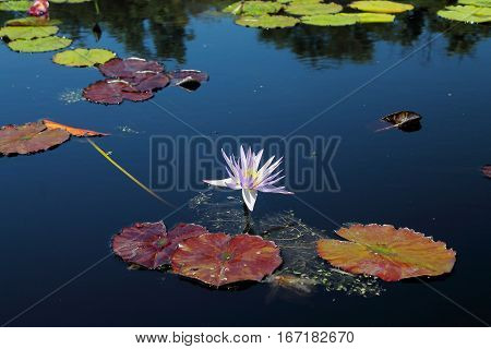 On the pond, lily pad losing its touch