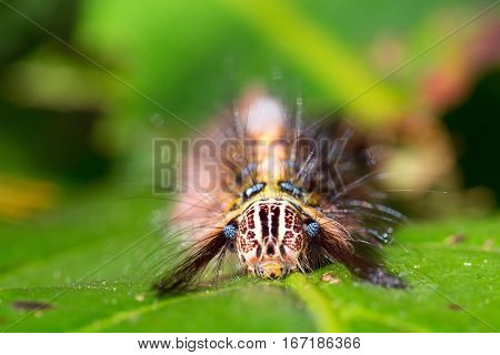 Close portrait of hairy moth caterpillar