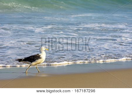 Seagull walks between the sea and the sand on the beach