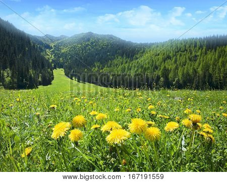 Field of dandelions in the mountains.
