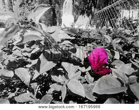 Fondo gris con una flor de color rosa