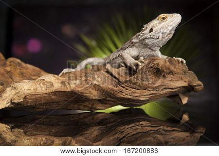 Pet, lizard Bearded Dragon on black background