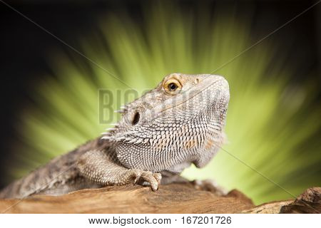 Agama bearded on black background, reptile