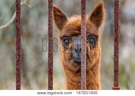 Alpaca (Vicugna pacos) looking out iron fence. Curious with bright eyes and brown red fur. Cute