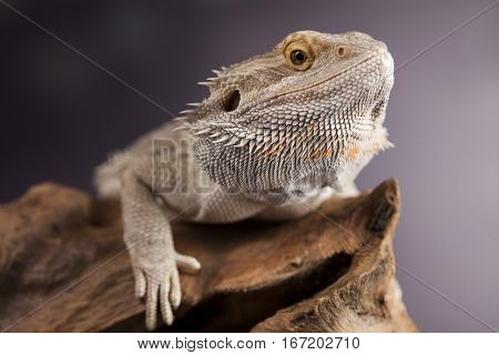Lizard, Agama, small dragon, mirror background