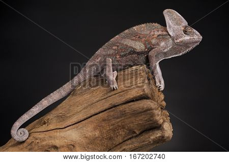 Root, Green chameleon, lizard background