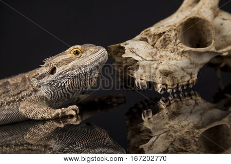 Lizard, Agama, Antlers, dragon and skull