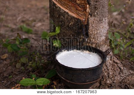 Close up latex from natural rubber tree Hevea