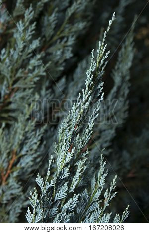 Blue Cypress of the Cypress Family Cupressaceae 1