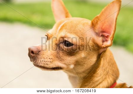 Fawn colored deerhead chihuahua looking at someone or something off camera