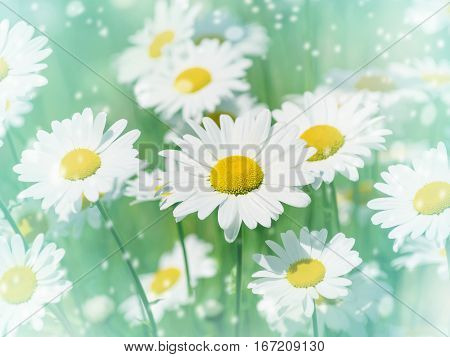 Summer gentle background with beautiful daisies closeup