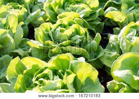 Vegetable Lettuce,Hydroponics field, vegetable green in farm