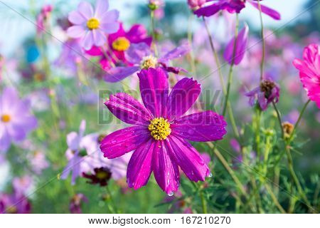 Beautiful Cosmos Flower in field, cosmos, flowers, flower