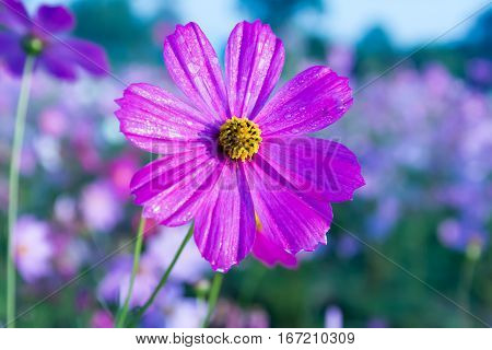 Beautiful Cosmos flower in field, cosmos blooming in field