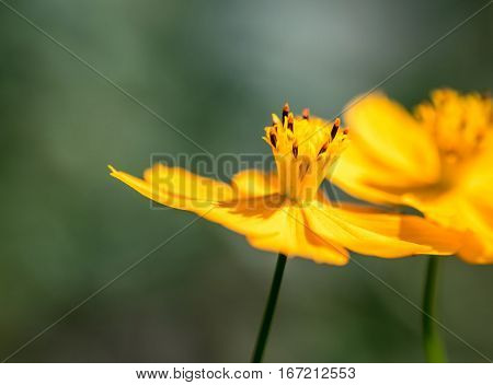Beautiful two yellow cosmos flower, one against another, with out of focus background
