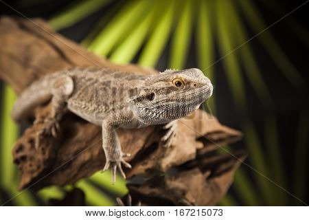 Beutiful Bearded Dragon Llizard, agama