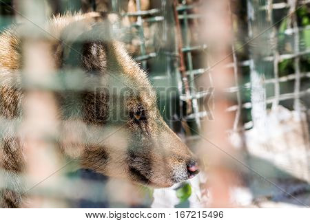 Indian fox face close up with cage as foreground emphasizing capacity and cruelty of animals