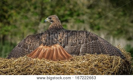 A red tailed hawk Buteo jamaicensis basking on a bale of straw perched in the sun with its wings spread out