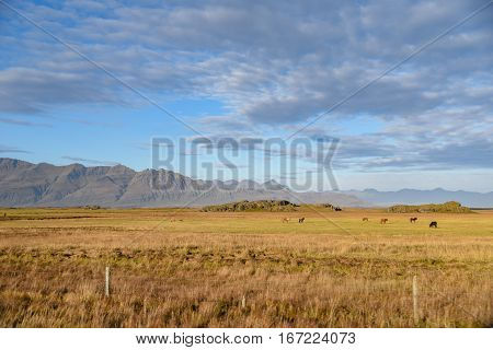 Icelandic horses in yellow field mountain range and blue sky beautiful natural landscape in summer of Iceland