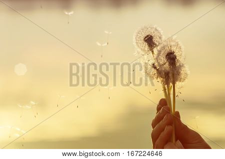 dandelion seeds flying in the hands of a woman