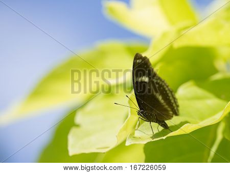 A black butterfly sitting on the light green leaf