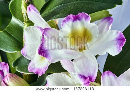 Details calyx  dendronium flower in garden in Poland