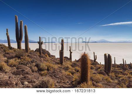 Cactus on Isla Incahuasi Salar de Uyuni Bolivia