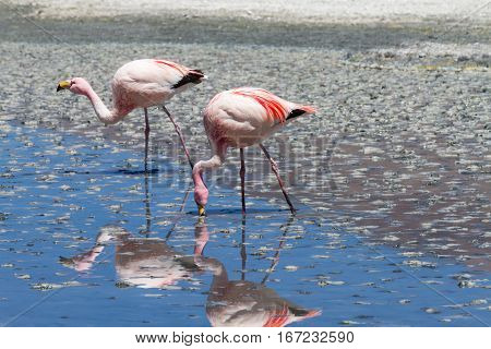 Flamingos with reflections at Laguna Hedionda Altiplano Bolivia