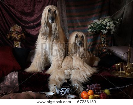 Two Afghan hounds dogs in the Arab style interior with flowers and fruit