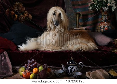Afghan hound dog in the Arab style interior with flowers and fruit