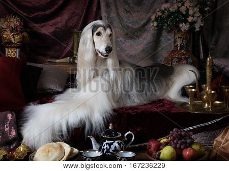 White Afghan hound dog lying on the carpet in the Arab style interior with flowers and fruit
