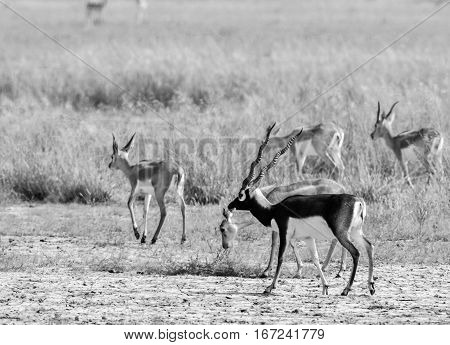 Monochrome image of Herd of mature and immature black buck deer walking in grasslands