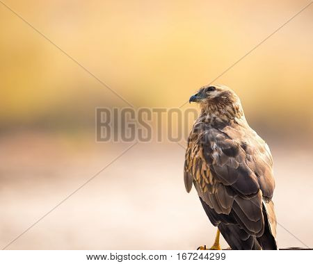 Beautiful eastern marsh harrier perching, looking at the camear with twisted neck, against light cream natural background