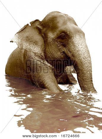 isolated swimming indian elephant (sepia photo) poster