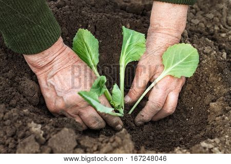 Closeup of old woman's hands planting a cabbage seedling in ground. Work in the garden in spring. Senior woman planting cabbage seedling in the vegetable garden